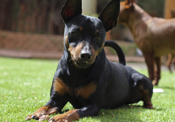 cesped artificial para animales domesticos