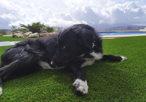limpiar excremento perro de cesped artificial