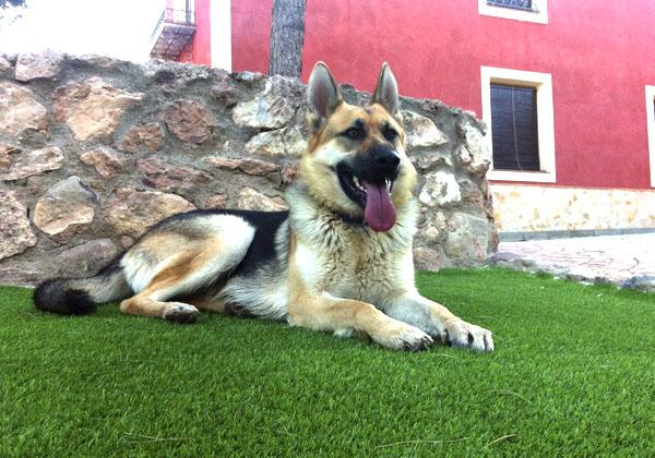 perro pastor aleman sobre cesped artificial