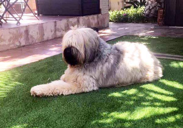 perro grande cesped artificial
