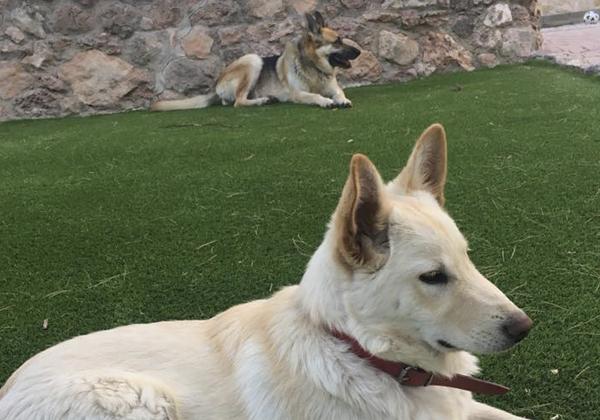 perro pastor aleman en jardin