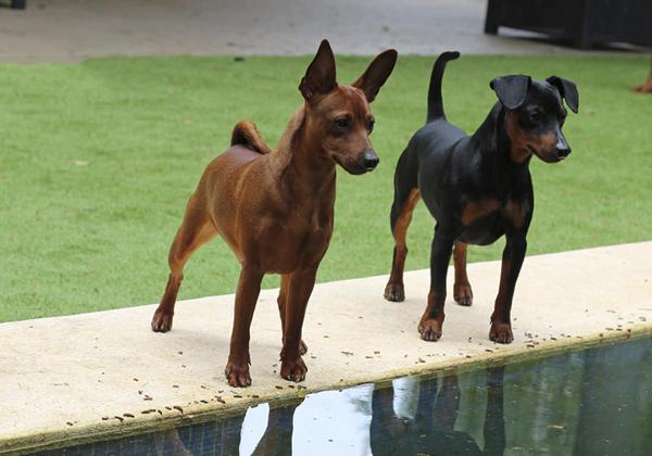 perros sobre cesped artificial