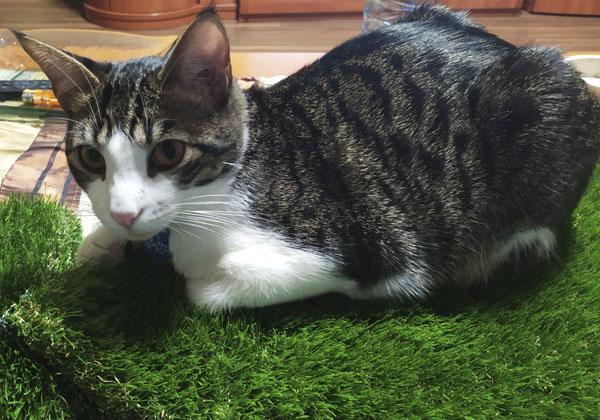 ventajas cesped artificial para gatos